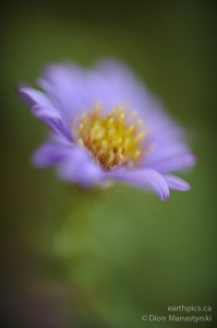Michaelmas daisy, Aster novi-belgii. Repro-Nikkor 85mm set at F1.0, Nikon D700.